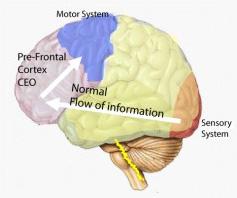 brain normal